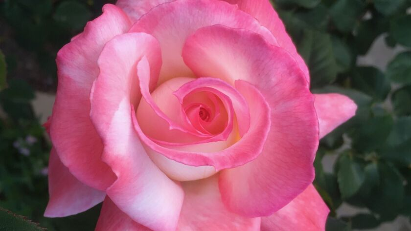 Secret has everything you want in a rose! It has beautiful pink and cream, intensely fragrant blooms