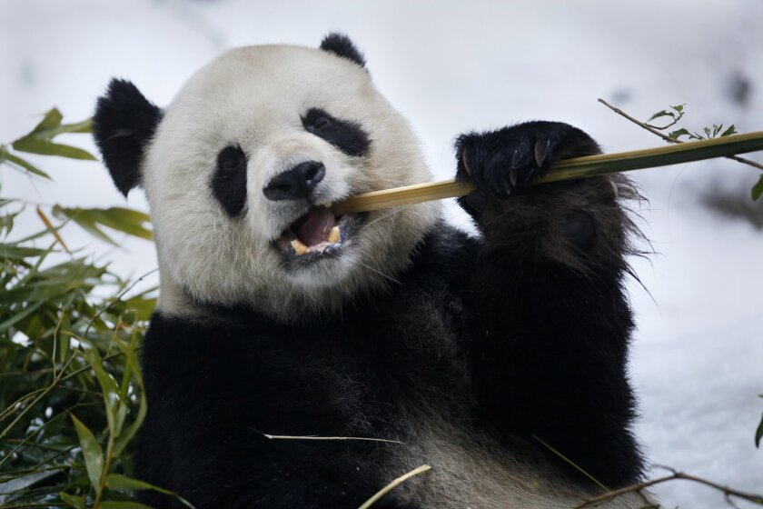 Gao Gao the giant panda is father to five panda cubs born at the San Diego Zoo.