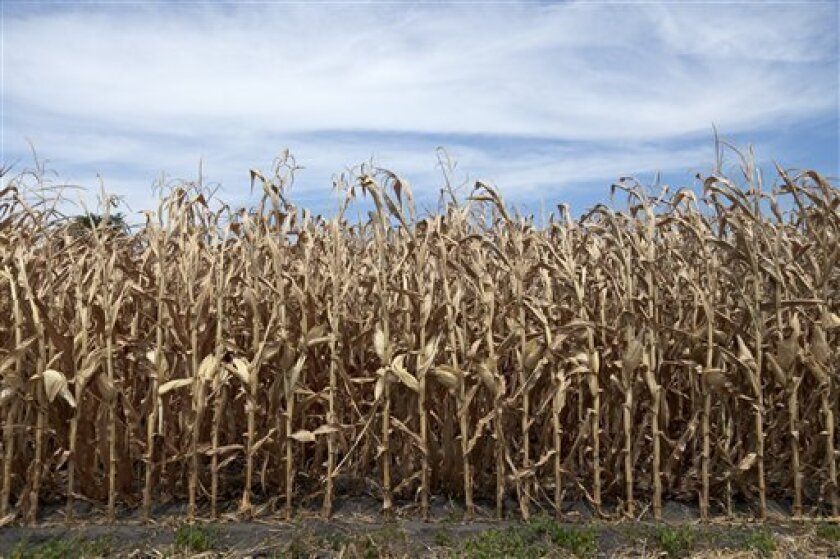 This photo from July 31, 2012 shows dried corn plants in Yutan, Neb. U.S. corn growers could have their worst crop in a generation as the harshest drought in decades takes its toll, the government reported Friday, Aug. 1, 2012, as it forecast the lowest average yield in 17 years. (AP Photo/Nati Harnik, File)