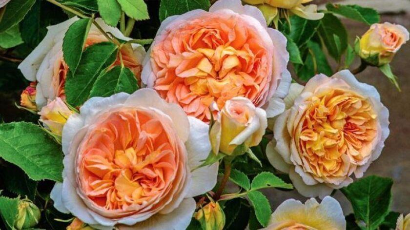 Bathsheba, fragrant apricot blooms on a 10-foot David Austin climber.
