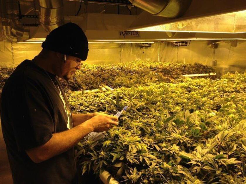 Paradójicamente, la Agencia Federal Antidrogas (DEA) busca quién cultive marihuana, pero encontrar candidatos para este millonario contrato público de investigación es bien complicado dado que esta sustancia sigue siendo ilegal a nivel federal. EFE/ARCHIVO