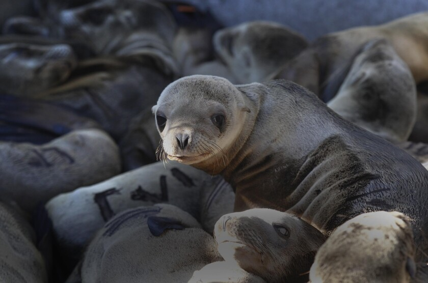 A high number of young sea lions were rescued by SeaWorld in 2016.