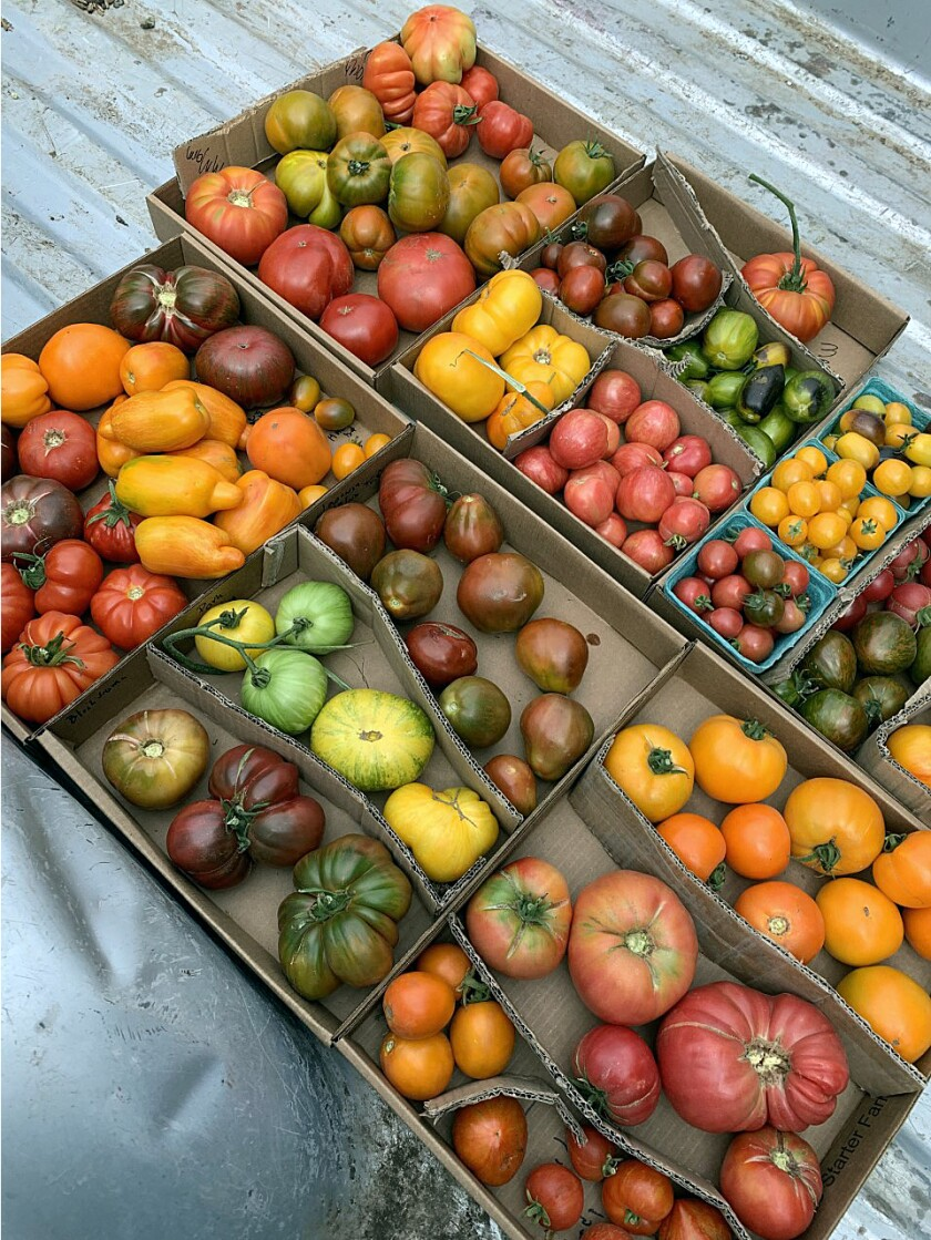 Tomatomania starts earlier than ever, with sales kicking off this weekend