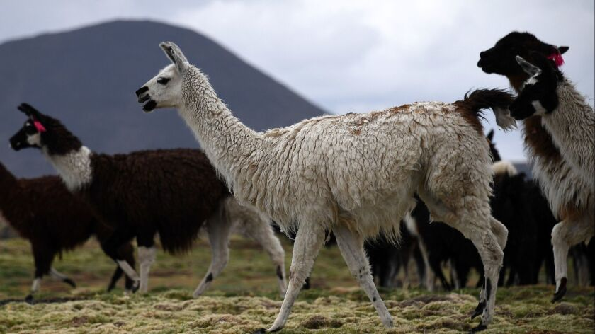New research suggests antibodies harvested from llamas could form the basis for a long-sought universal flu vaccine.