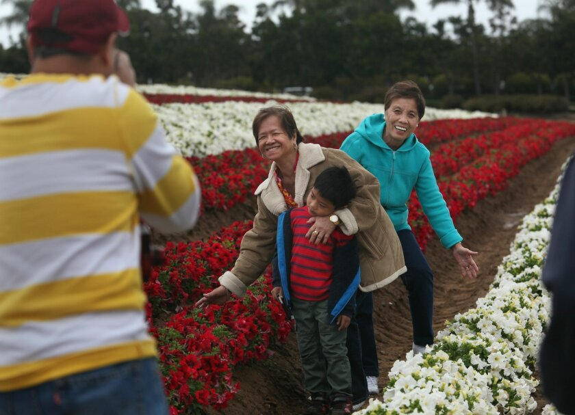 Marvin Dagarag, left, takes pictures of visiting relatives Tina Resurreccion holding his son Michael Dagarag, 5, with the boy's grandmother Priscilla Dagarag, right, among a field of petunias Sunday at the Carlsbad Flower Fields.  The annual opening day, March 1, at the Carlsbad Flower Fields was