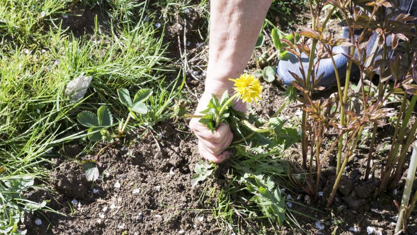 Female Hands Pull Out Weeds From Ground Garden