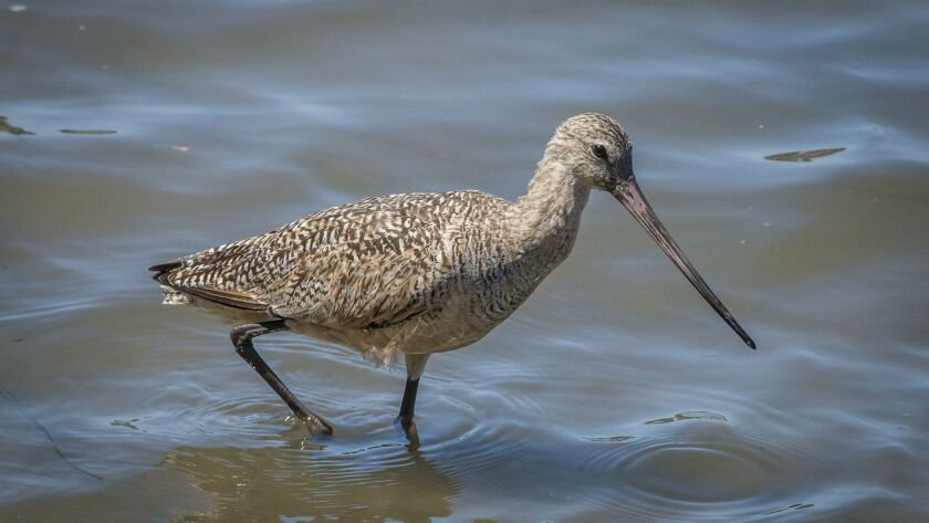 The marbled godwit has a long, slightly upturned bill.