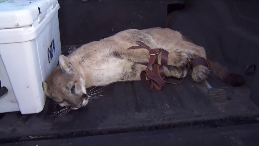 A mountain lion was captured in a Simi Valley neighborhood on Dec. 12, 2019.