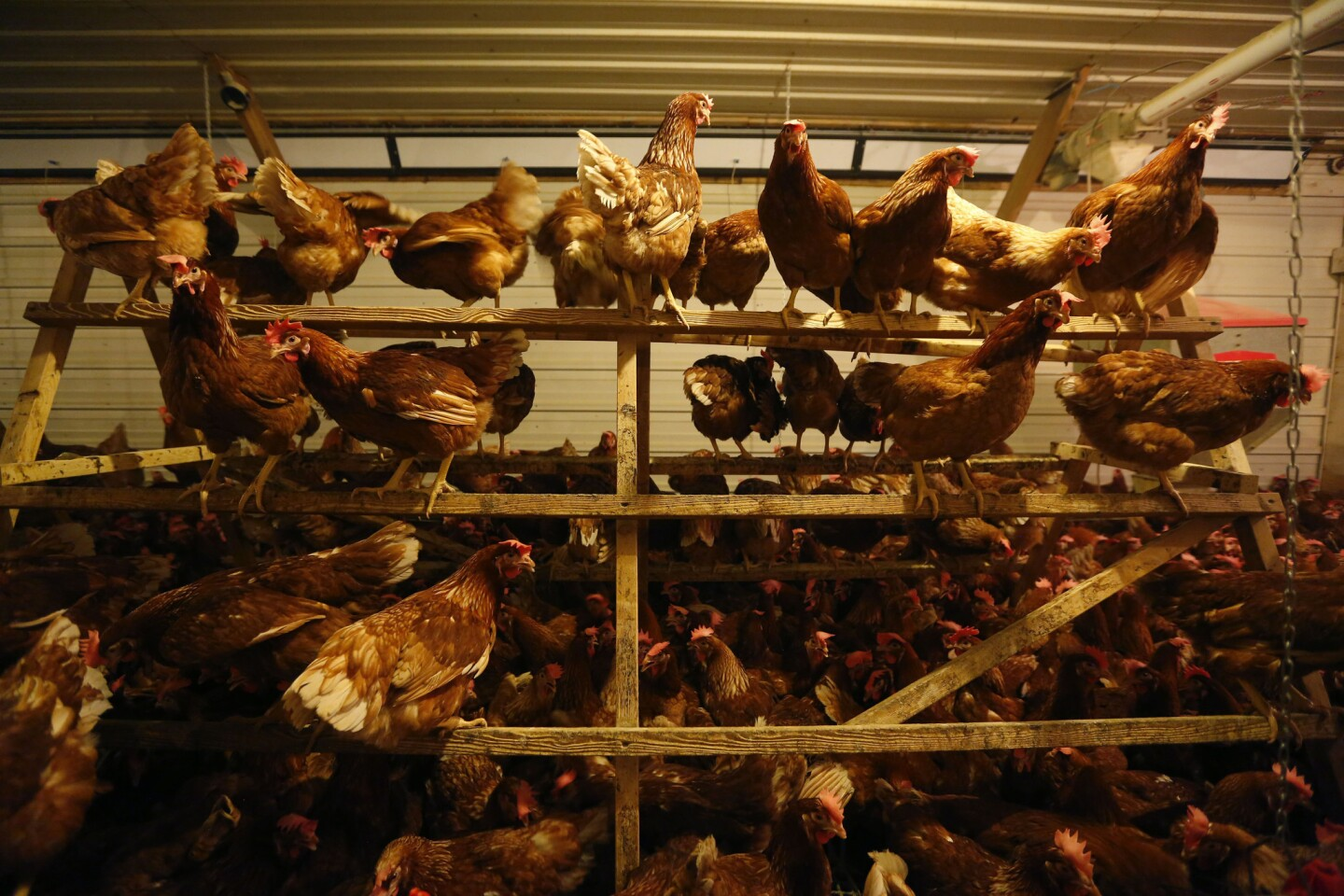 Hens perch in a cage-free barn operated by Phil's Fresh Eggs in Forreston, Ill.