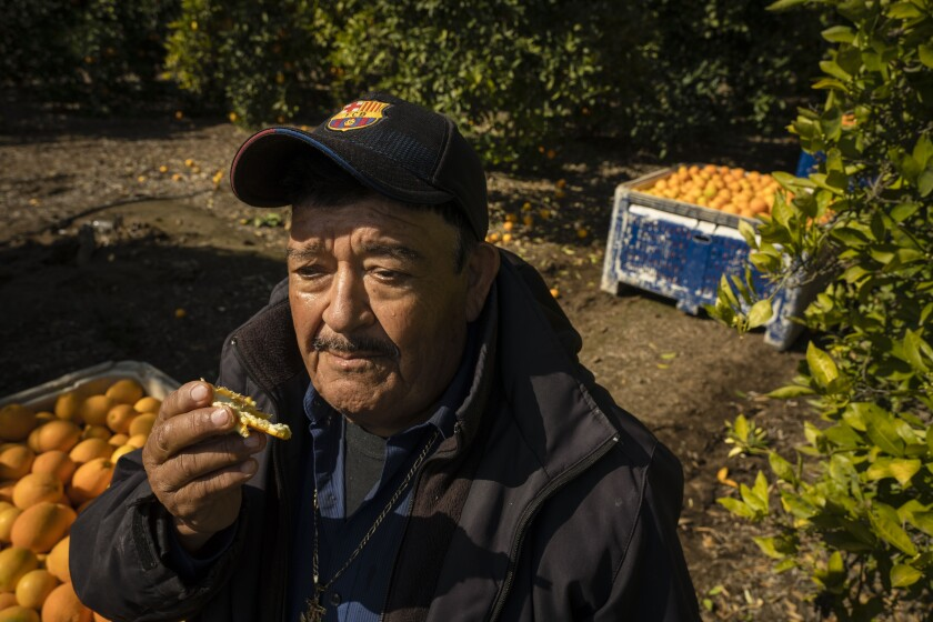 Carlos Garcia, 73, lives in Sanger and has been working this week at an orange orchard near Reedley in the San Joaquin Valley. He said he's being extra cautious amid the coronavirus pandemic because of his age and the fact that he suffers from diabetes. He now wears long sleeves and gloves at all times. He washes his hands before and after using the bathroom, and again before he heads home for the day. When he gets there, he immediately throws all his clothes in the wash. More than himself, he said he worries about infecting one of his grandchildren if he were to contract the virus.