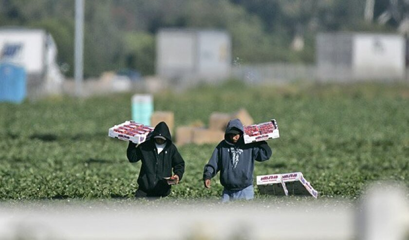 Farmworkers carried the new crop of strawberries Friday at fields on Tamarack Avenue owned by the Carlsbad Strawberry Co. (John Gastaldo / Union-Tribune)