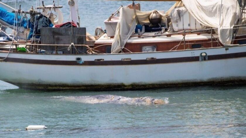 A juvenile gray whale pops up beside a boat in Newport Harbor on Thursday. It has since been reported in the Back Bay.