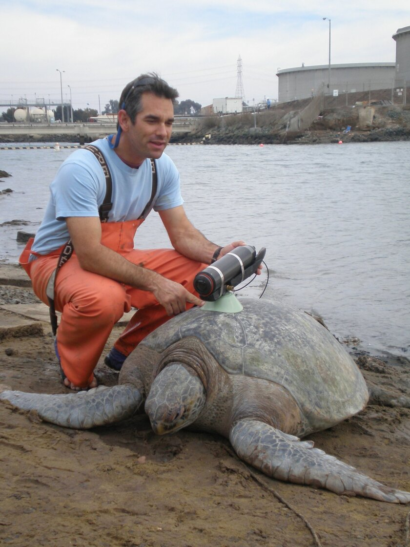 Researcher Jeff Seminoff, with a green sea turtle equipped with a National Geographic Crittercam, used to monitor habitat use. By Robin LeRoux.