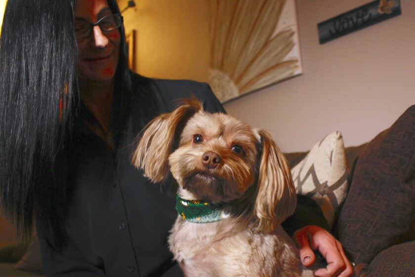 In this Nov. 5, 2019 photo, in St. Francis, Wis., Amy Carter looks at her Yorkshire terrier-Chihuahua mix Bentley, who has epilepsy. Carter, gives him CBD, which she says has reduced his seizures. The federal government has yet to establish standards for CBD that will help pet owners know whether it works and how much to give. But the lack of regulation has not stopped some from buying it, fueling a $400 million CBD market for pets that grew more than tenfold since last year and is expected to reach $1.7 billion by 2023, according to the cannabis research firm Brightfield Group. (AP Photo/Carrie Antlfinger)