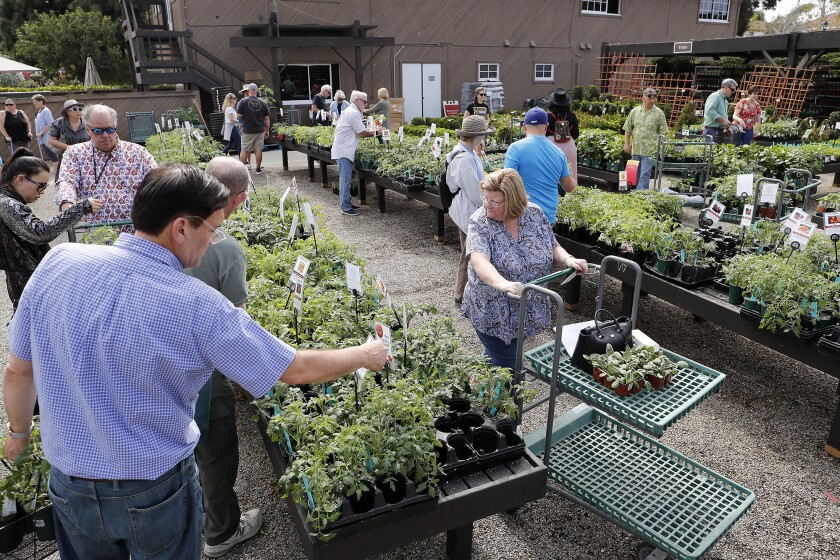 Tomatomaniacs Welcome At Roger S Gardens Plant Sale Los Angeles Times