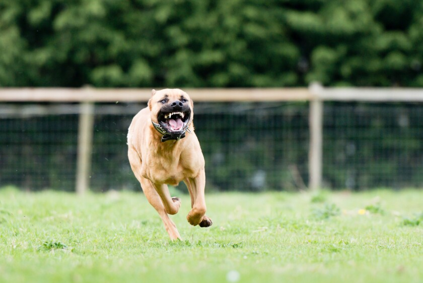 Maryland woman Robin Conway was attacked by a pit bull, similar to one like this.