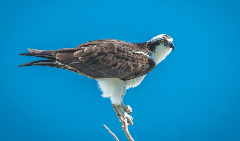 The osprey is often mistaken for a bald eagle. But the eagle has an all-white head, while ospreys have a black mask through the eyes and neck.