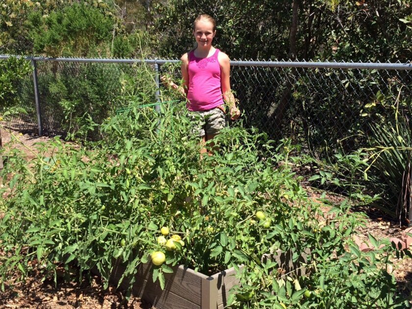 Grace Fisher with a planter box overflowing with tomato plants in the Carrillo Elementary School garden.