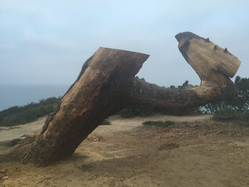 A Torrey pine on the south end of Torrey Pines State Reserve is being turned into public art.