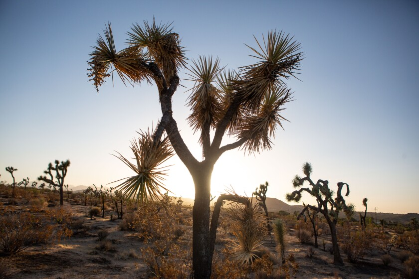 An area in Joshua Tree, CA where Joshua trees are facing extinction due to climate change and wildfires.