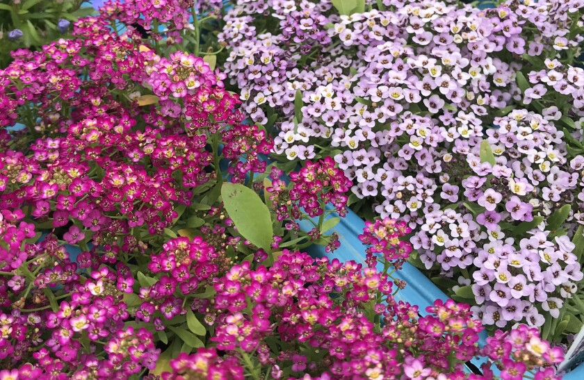 Alyssum comes in a variety of colors.