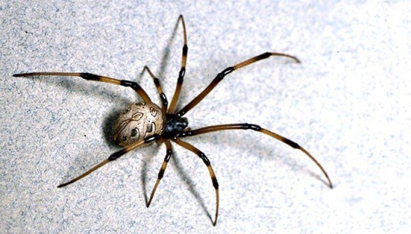 A female brown widow.