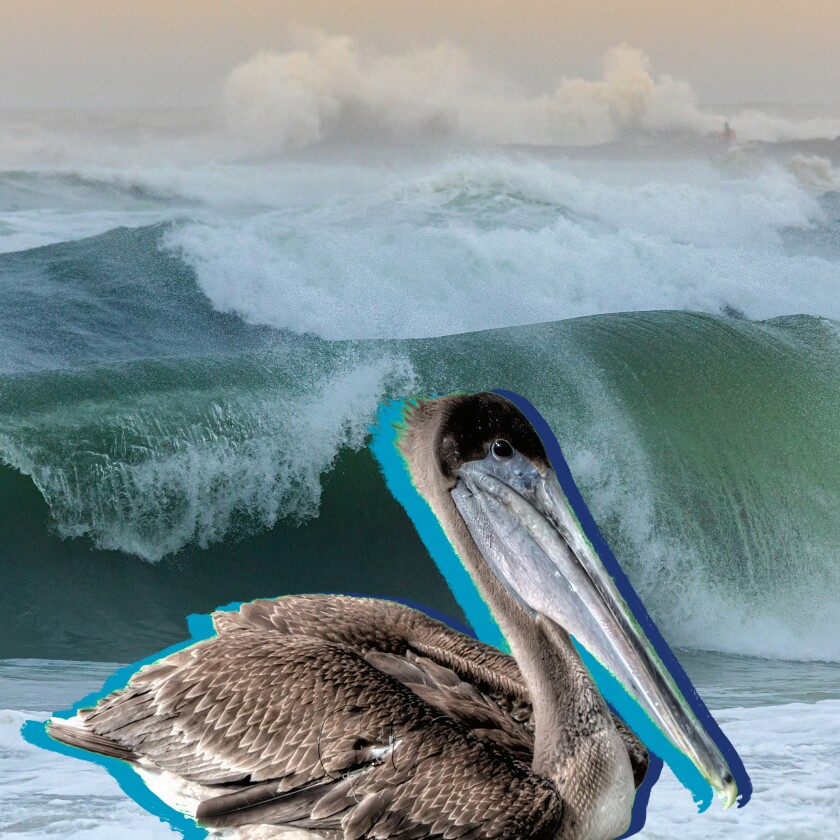 Photo illustration of a pelican in front of a crashing ocean wave.