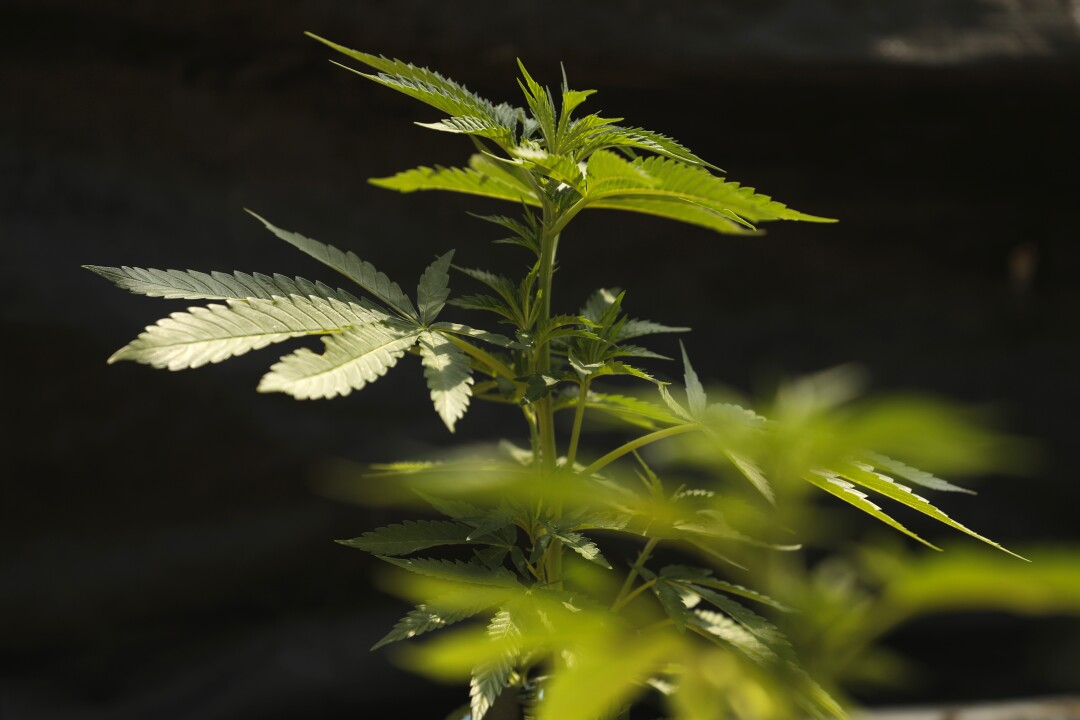 Young cannabis plants grow in the greenhouse at Huckleberry Hill Farms in Garberville.