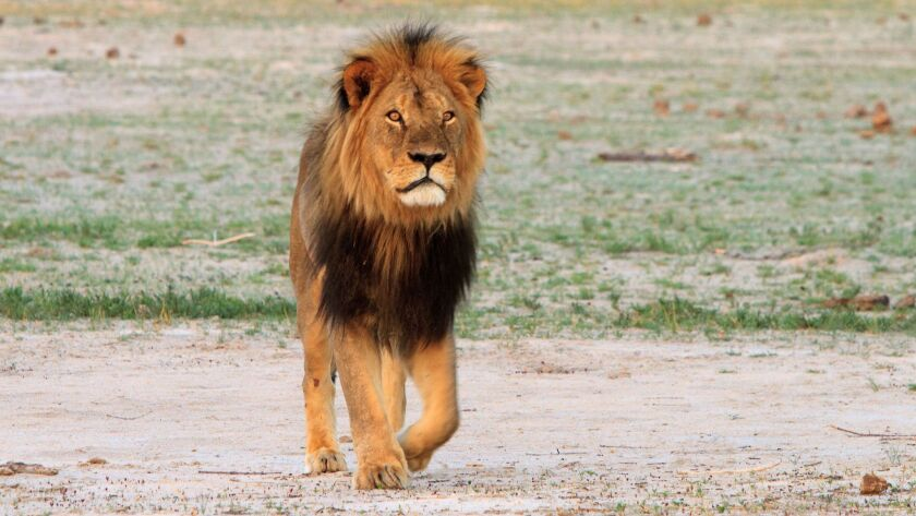 Cecil the lion roams Zimbabwe's Hwange National Park in 2012. Using principles of evolutionary biology, researchers have some ideas for discouraging big-game hunters from killing animals like Cecil.