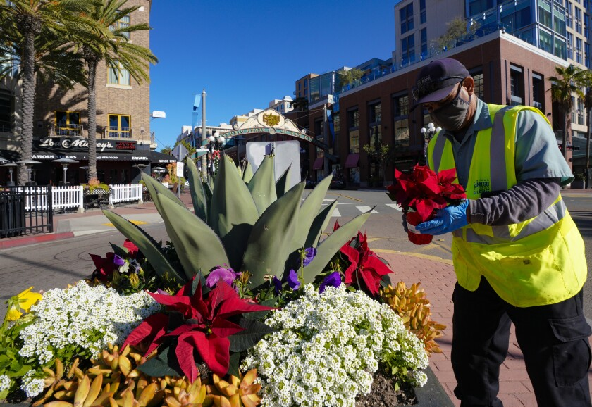Jorge Barragan with Downtown San Diego Partnership adds poinsettias to garden boxes in the Gaslamp Quarter.