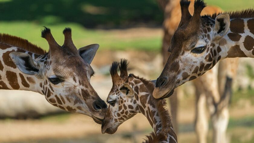 The San Diego Zoo Safari Park has plans to save all the animals, including these giraffes, should wildfire threaten the animal haven located in the San Pasqual Valley.