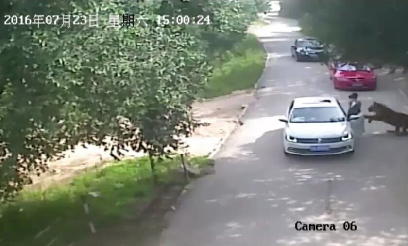 This video frame grab received from China's state broadcaster CCTV on July 25, 2016 shows a tiger (far R) attacking a passenger after she stepped out a car at Beijing Badaling Wildlife World.