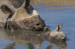 Seven-week-old greater one-horned rhino takes a dip with mom at San Diego Zoo Safari Park