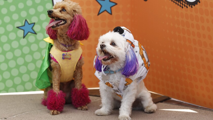 DJ and Molly dress up at the 6th Annual PAWmicon Convention hosted by the Helen Woodward Animal Center.