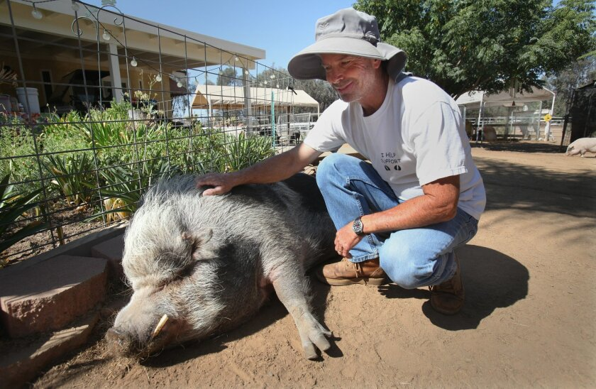Puumba, a 350-pound potbellied pig mix, lies down for a scratch from his human guardian Martin Koontz. Nearly 100 potbellied pigs are having their bacon saved at Grazin' Pig Acres, a rescue ranch Koontz runs with his wife, Nancy, in Ramona.