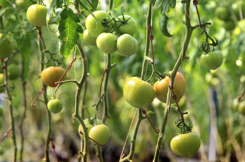 Labor shortages across the U.S. have forced some farmers to take extreme measures. In this file photo, tomatoes grow vertically in a greenhouse.