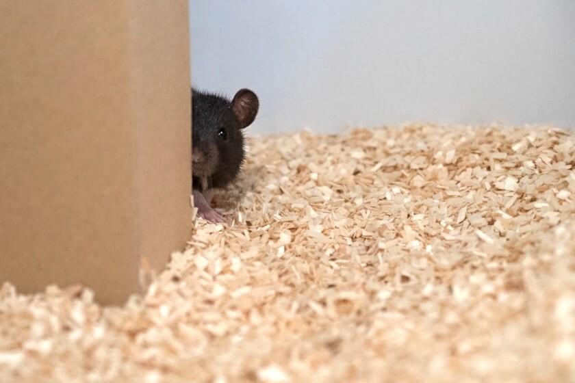 A rat hides behind a piece of cardboard