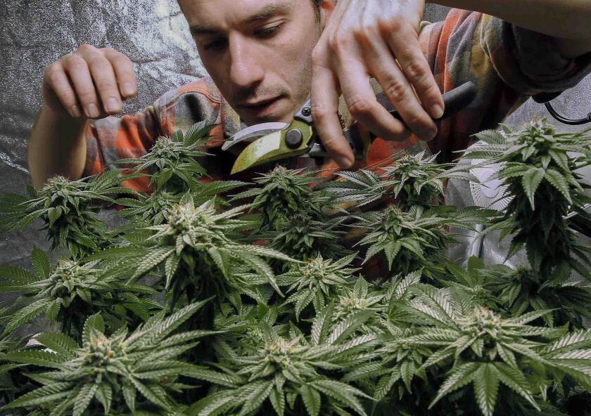 James MacWilliams poda una planta de mariguana que él cultiva en Portland, Maine