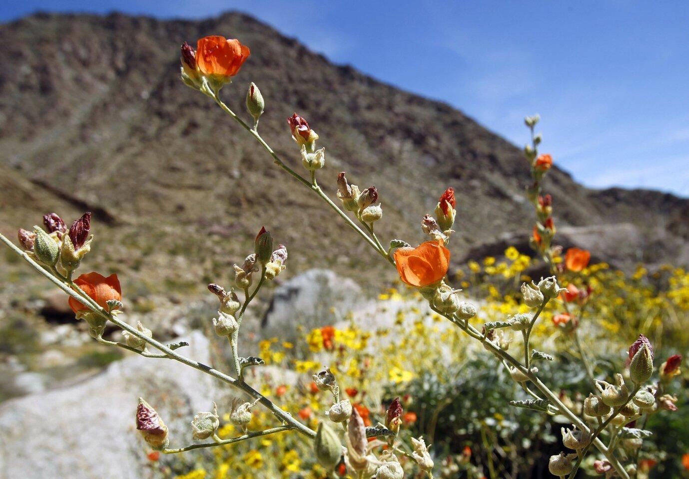 Desert wildflowers in bloom