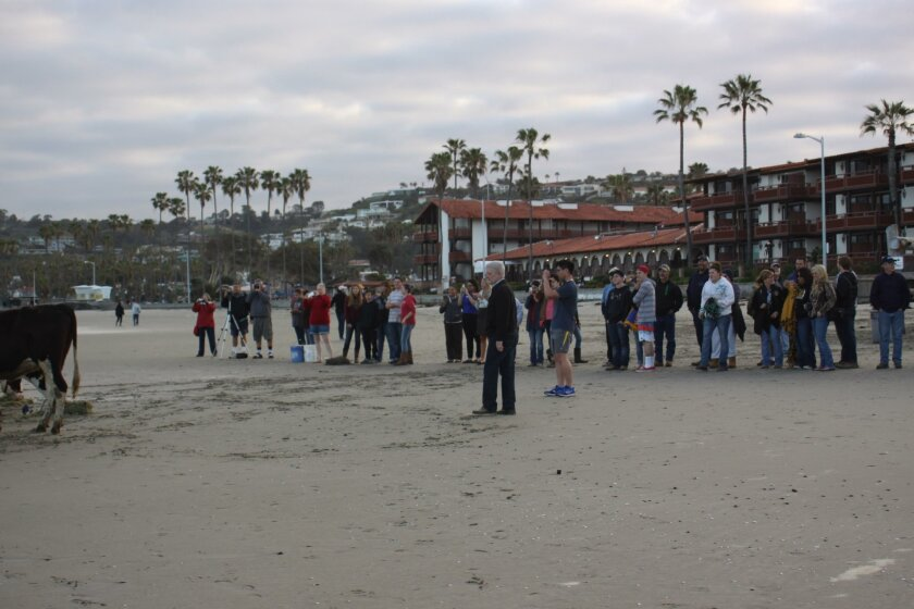A crowd gathers to get their own versions of a Cows on the Beach photo.