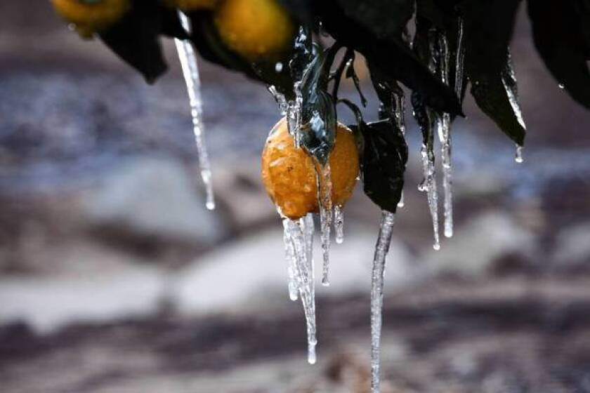 Lemons at a farm in Moorpark are encased in ice. Citrus farmers across the state have been up all night since Thursday, when arctic winds began pushing down a cold front that threatens the $1 billion in oranges, lemons, tangerines and grapefruit still on trees in California.