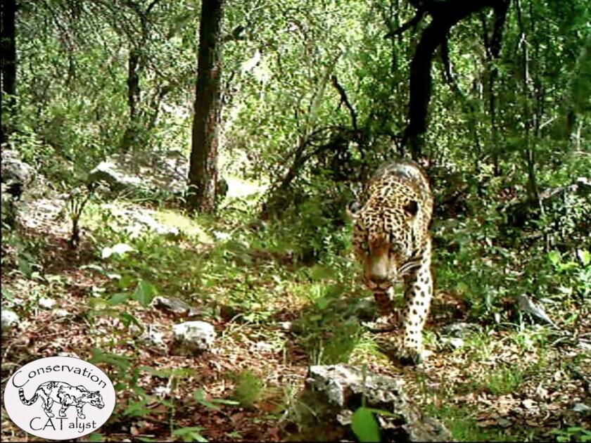 """En una imagen sin fecha tomada del primer video difundido del enorme felino, proporcionada por el Centro de Diversidad Biológica, el único jaguar que se sabe que vive en libertad en Estados Unidos es visto deambulando alrededor de un arroyo y otras partes de una cordillera al sur de Tucson, Arizona, en el primer video dado a conocer del enorme felino. """"El Jefe"""" ha estado viviendo en las montañas de Santa Rita, unos 40 kilómetros (25 millas) al sur del centro de Tucson por más de tres año, de acuerdo con el Centro de Diversidad Biológica. (Centro de Diversidad Biológica vía AP)"""