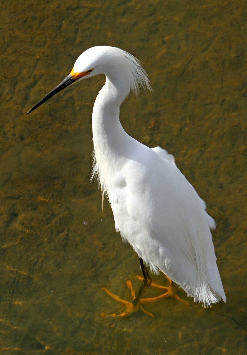 A year round resident of the lagoon, a snowy egret looks for his next snack at the San Elijo Lagoon during a Family Fun Days event featuring information on migrating birds of the lagoon Sunday. photo by Bill Wechter