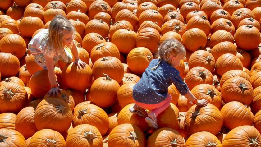 Visitors check out the pumpkin patch at Bates Nut Farm.