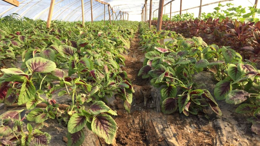 Amaranth growing at Thao Farms in Fresno, CA.