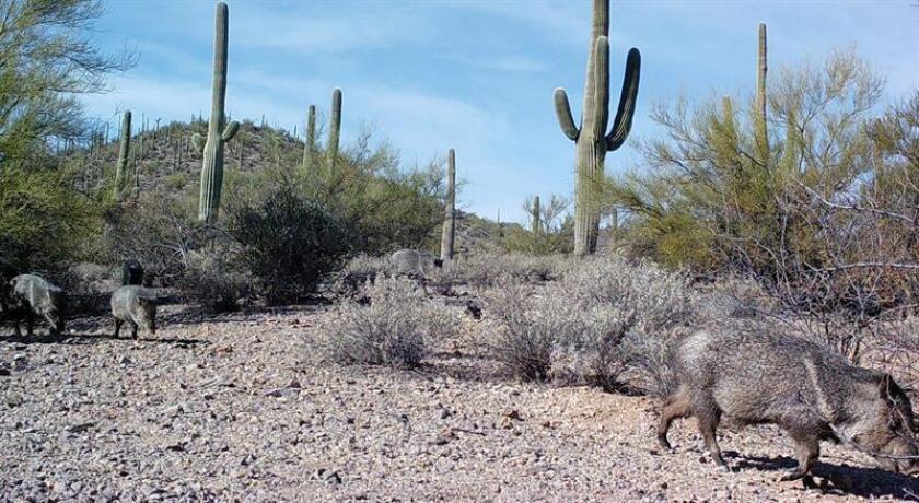 Fotografía cedida hoy, viernes 2 de marzo de 2018, por la compañía Wildlands Network, fechada el 4 de febrero de 2018, que muestra ejemplares de pecarís de collar (Pecari tajacu), en Hermosillo Sonora (México). EFE/Myles Traphagen, Wildlands Network/SOLO USO EDITORIAL