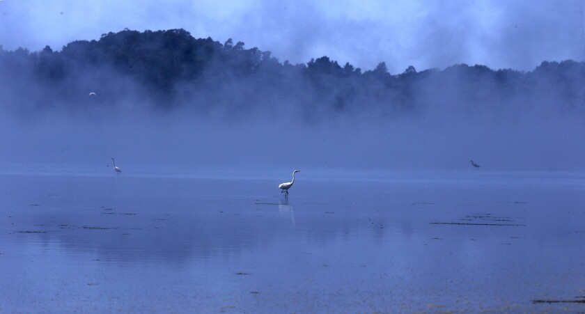 An egret searches for breakfast on a foggy morning at Bolinas Lagoon Nature Preserve.