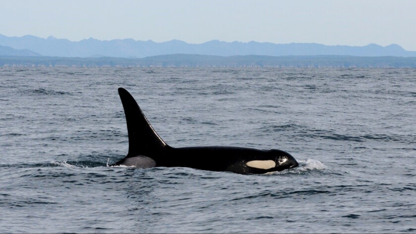 An orca swims in the Pacific Ocean near La Push, Wash., shortly before being fitted with a satellite tag.