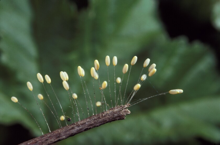 The eggs on these fiber stocks are Green Lacewing eggs. The larvae stage prey upon a large number of insect pests.