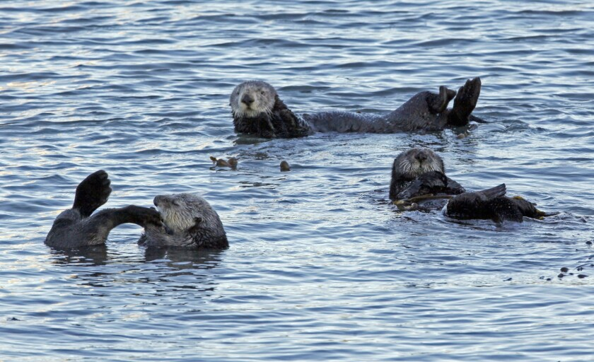 A group of sea otters is seen in Morro Bay in 2010. Authorities say three otters were fatally shot off the California coast in the last month.